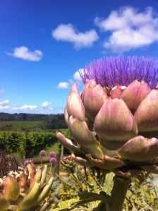 Flowering Artichokes at Red Hill Victoria