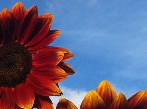 Sunflowers in Leichhardt NSW